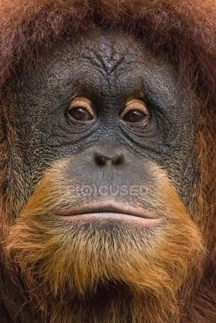 Ritratto di orango borneo maschio, Borneo, Indonesia — Foto stock