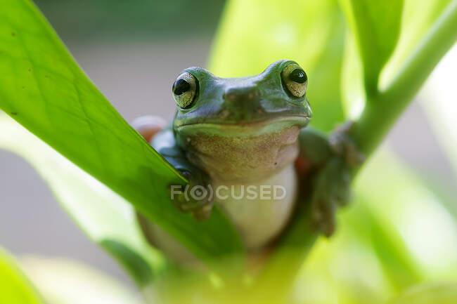 Retrato de una rana voladora de Wallace sentada en una planta, Yakarta, Indonesia - foto de stock