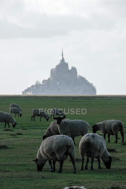 Pecora al pascolo nel prato di fronte a Mont Saint Michel, Normandia, Francia — Foto stock