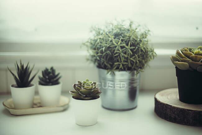 Las plantas suculentas en el estante por la ventana - foto de stock