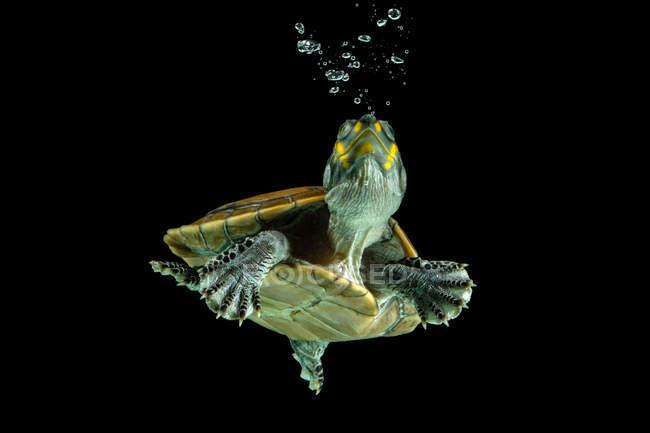 Tortuga nadando bajo el agua, Indonesia - foto de stock
