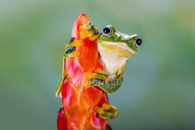 La rana voladora de Wallace en una flor heliconia, Indonesia - foto de stock