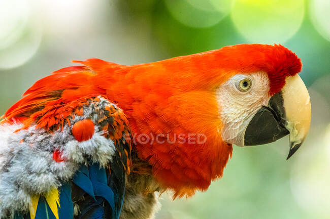 Portrait of a scarlet macaw, Indonesia — Stock Photo
