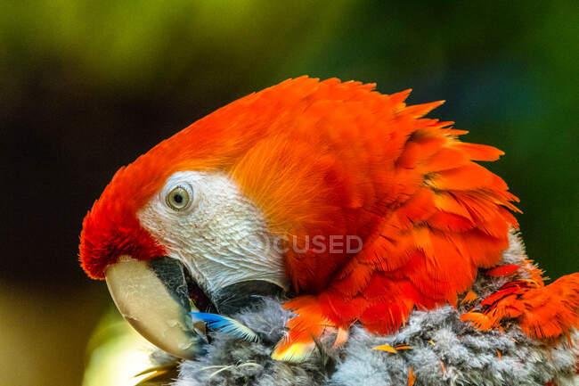 Retrato de un guacamayo escarlata acicalando plumas, Indonesia - foto de stock