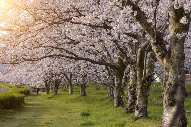 Árboles de flores de cerezo en Hirosaki Park, Tohoku, Honshu, Japón - foto de stock