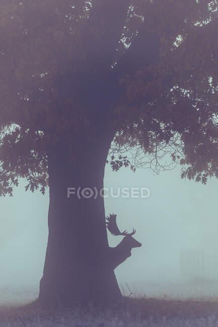 Силует оленя за деревом, Буші-Парк, Річмонд-на-Темза, Лондон, Англія, Велика Британія — стокове фото