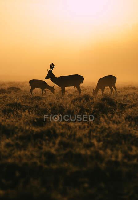 Due cervi e un cervo a Bushy Park, Richmond-upon-Thames, Londra, Regno Unito — Foto stock