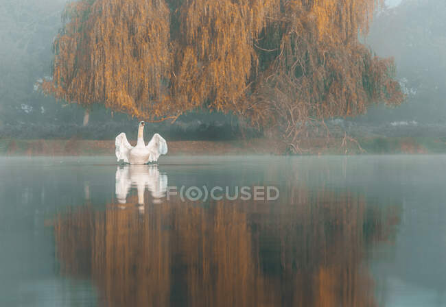Swan on a lake flapping its wings, Bushy Park, Richmond-upon-Thames, England, UK — Stock Photo