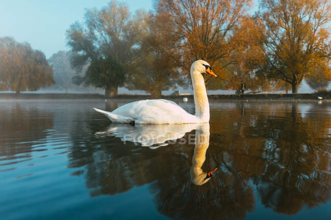 Swan swimming in a lake, Bushy Park, Richmond-upon-Thames, Londres, Reino Unido — Fotografia de Stock