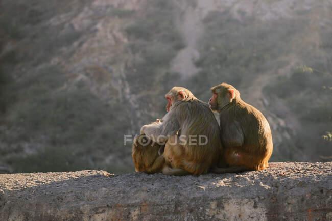 Vista posteriore di una famiglia di scimmie sedute su un muro, Jaipur, India — Foto stock