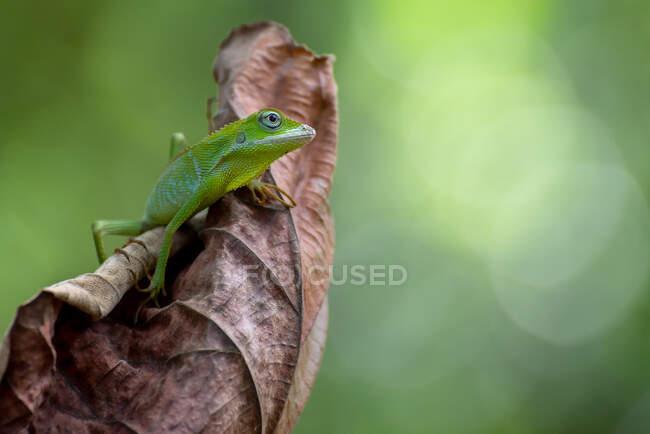 Lagarto del bosque de crin sobre una hoja seca, Indonesia - foto de stock
