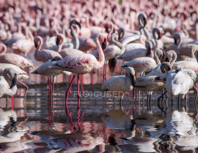 Colonia de flamencos en el lago Nakuru, Kenia — Stock Photo