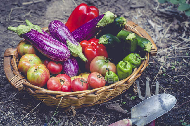 Wicker basket in a vegetable garden with freshly picked Aubergines, zucchini, bell peppers and tomatoes — Stock Photo