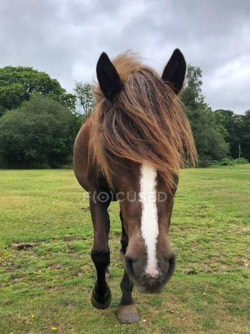 Close-up of a pony in New Forest, Hampshire, England, UK — Stock Photo