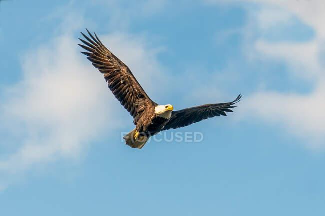 Лисий орел у польоті (Канада). — стокове фото