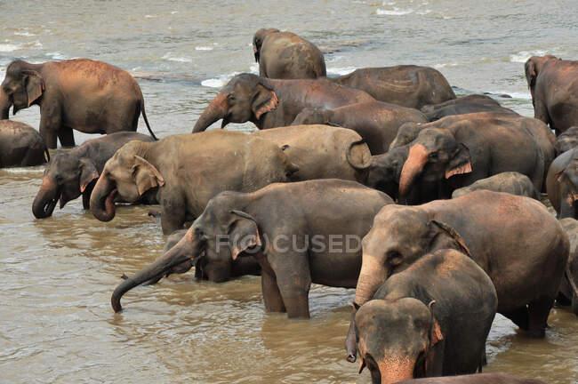 Branco di elefanti in un fiume, Sri Lanka — Foto stock