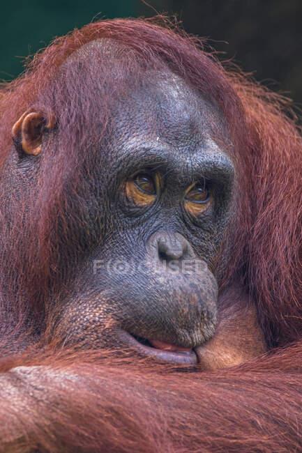 Ritratto di un orango maschio, Indonesia — Foto stock