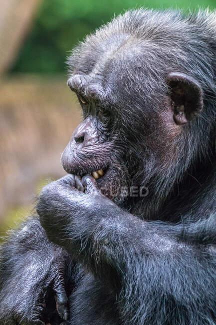 Ritratto di uno scimpanzé africano con la mano sulla bocca, Indonesia — Foto stock