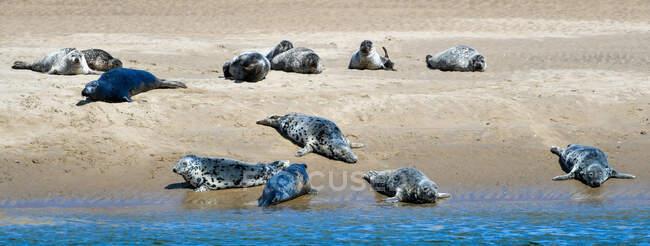 Sigilli sulla spiaggia, Highlands, Scozia, Regno Unito — Foto stock