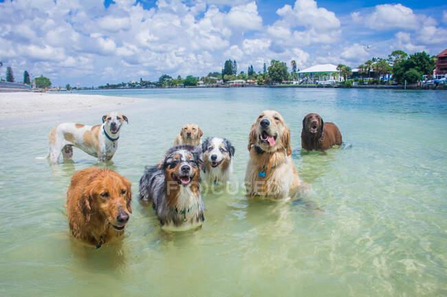 Группа собак, стоящих в океане, Флорида, США — стоковое фото