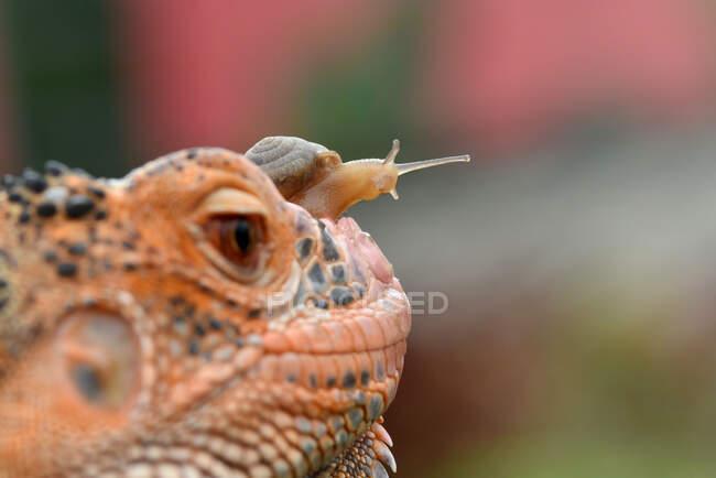 Caracol miniatura en la cabeza de un lagarto, Indonesia - foto de stock