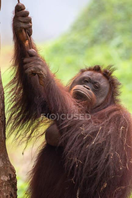 Ritratto di orango femmina, Indonesia — Foto stock