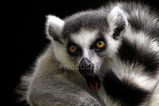 Ritratto di un lemure dalla coda ad anello, Indonesia — Foto stock