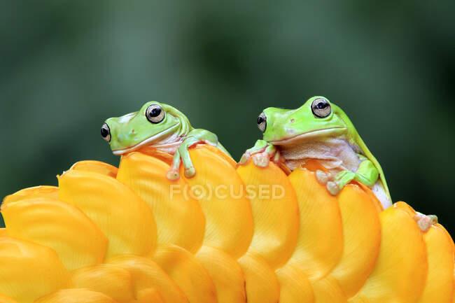 Dos ranas de árbol blancas en un capullo de flor amarilla - foto de stock