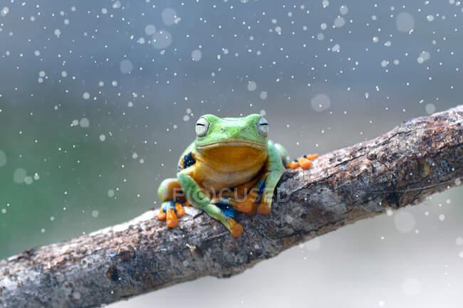 Wallace Flying Frog en una rama, Kalimantan, Borneo, Indonesia — Stock Photo
