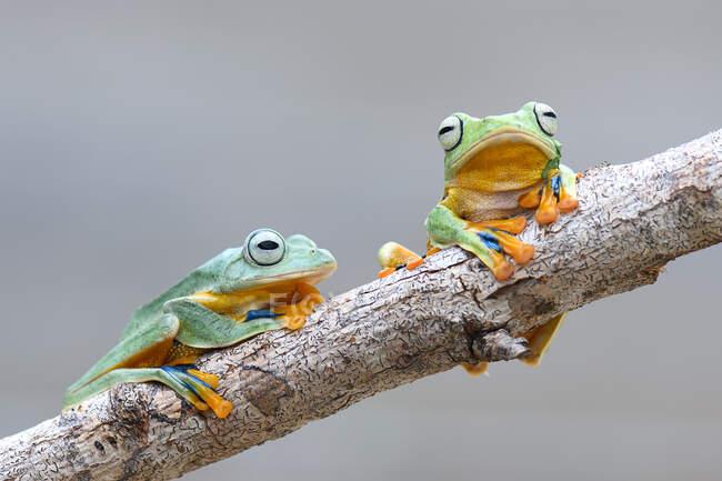 Dos ranas voladoras Wallace en una rama, Kalimantan, Borneo, Indonesia — Stock Photo