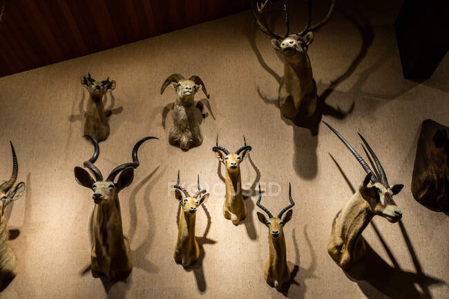 Close-up de cabeças de animais montadas em uma parede — Fotografia de Stock