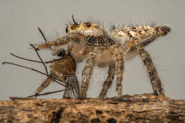 Ragno che salta con un insetto morto, Indonesia — Foto stock