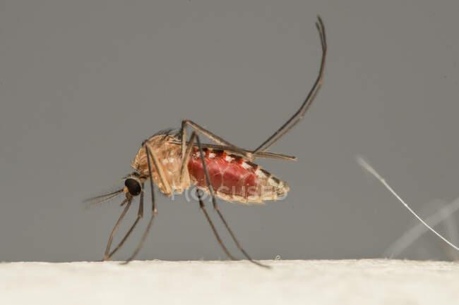 Primer plano de un mosquito en la piel humana, Indonesia - foto de stock