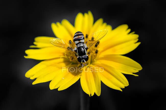 Бджола на жовтій квітці (Індонезія). — стокове фото