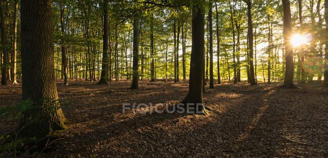 Sole che splende tra gli alberi in una foresta, Enschede, Overijssel, Twente, Paesi Bassi — Foto stock