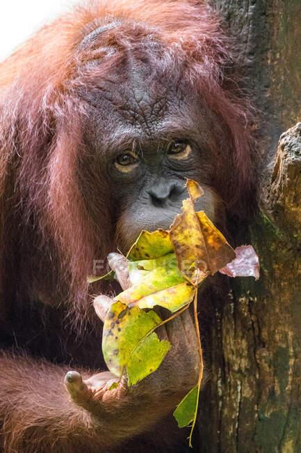 Portrait of an orangutan, Indonesia — Stock Photo
