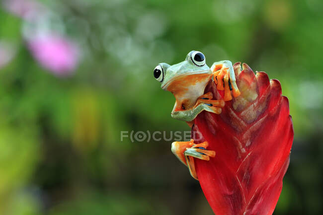 Rana de árbol de Java en un capullo de flores, Indonesia — Stock Photo