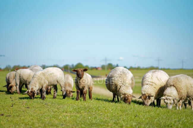 Jovens cordeiros em um campo, Frísia Oriental, Baixa Saxônia, Alemanha — Fotografia de Stock