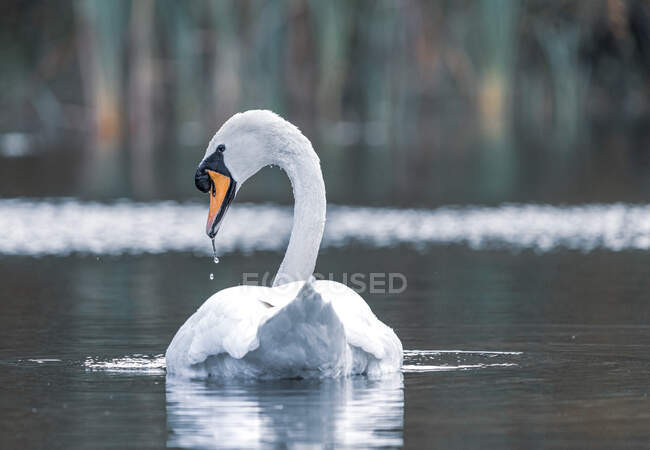 Vista trasera de un cisne en un lago, Swallowfield, Berkshire, Inglaterra, Reino Unido - foto de stock