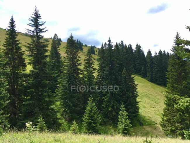Forest landscape, Jahorina mountain, Bosnia and Herzegovina — Stock Photo