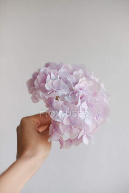 La mano de la mujer sosteniendo una flor de hortensia rosa - foto de stock