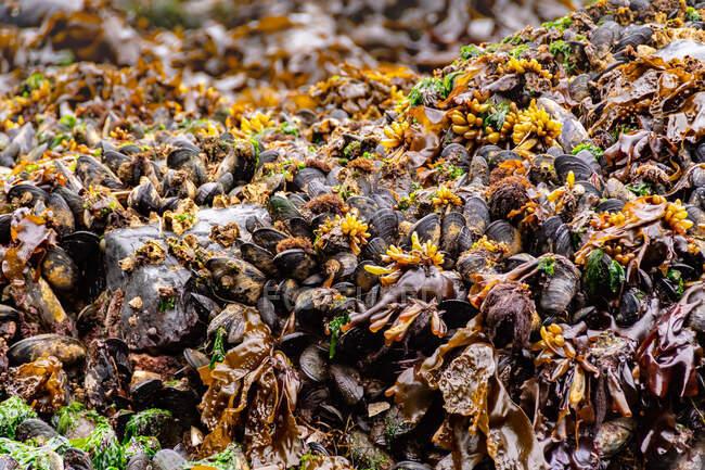 Close-up de mexilhões crescendo em rochas, Mystic Beach, Vancouver Island, British Columbia — Fotografia de Stock