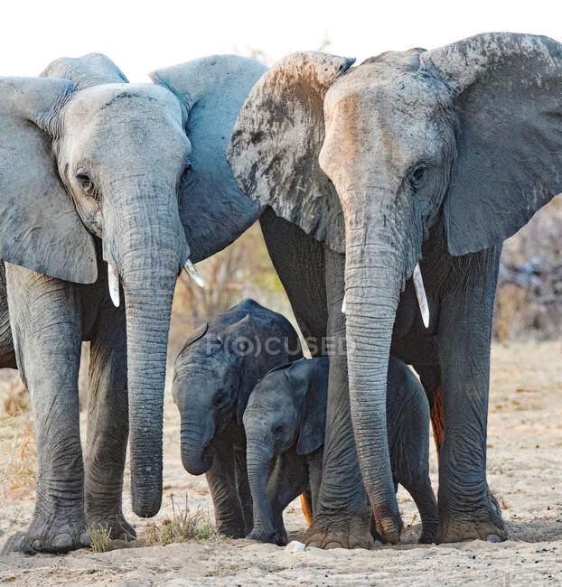 Two elephants with elephant cubs, Etosha National Park, Namibia — Stock Photo
