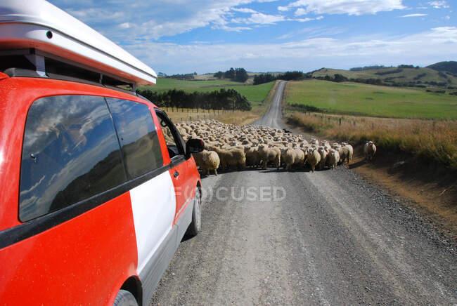 Стадо овец, блокирующих машину на дороге, Новая Зеландия — стоковое фото