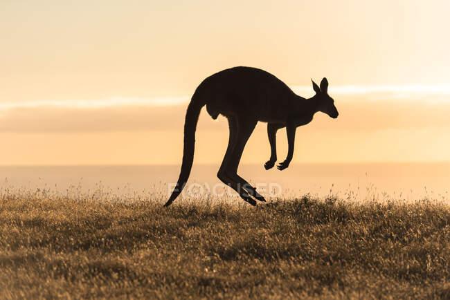 Silhouette di un canguro che salta, Deep Creek Conservation Park, Australia Meridionale, Australia — Foto stock