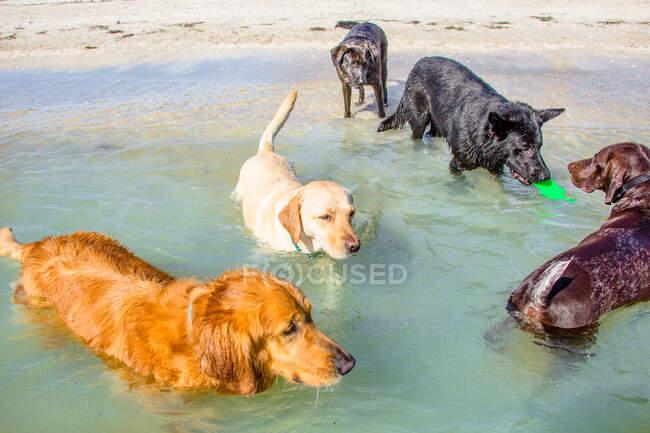 Пять собак играют в океане с пластиковой игрушкой, США — стоковое фото