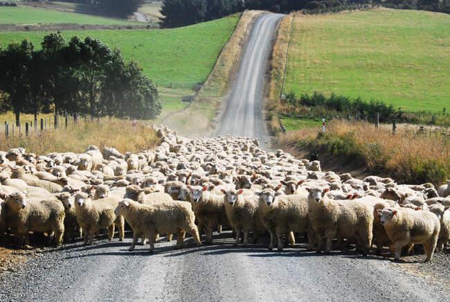 Стадо овец, блокирующих проселочную дорогу, Новая Зеландия — стоковое фото