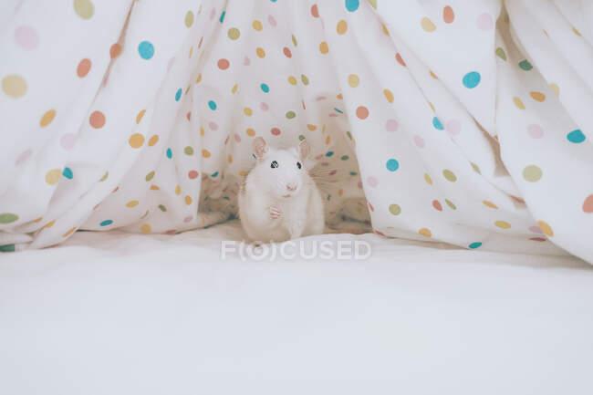 Rata blanca sentada debajo de una sábana de lunares - foto de stock