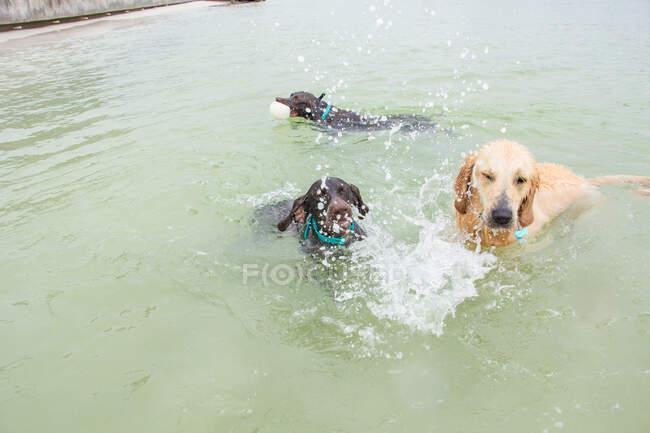 Tres perros jugando en el océano, Estados Unidos - foto de stock
