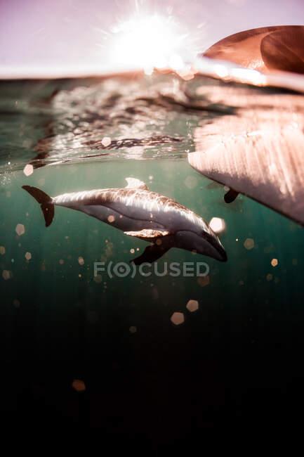 Delfín nadando bajo el agua, California, EE.UU. - foto de stock